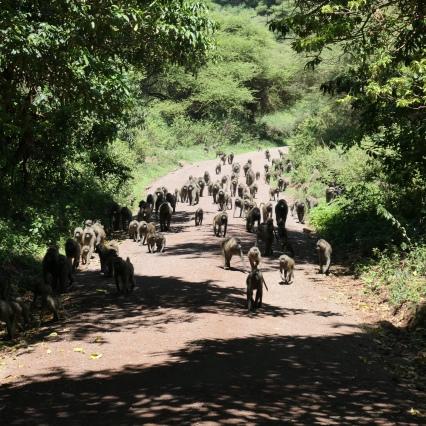 Baboon Troop in Lake Manyara National Park
