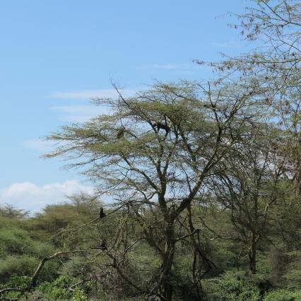 Leopard up a tree at Lake Manyara National Park