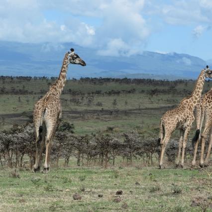 Giraffes on the roadside